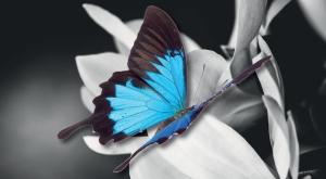 farfalla-sdc